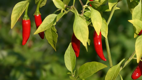 Cayenne Pepper for weight loss – is it safe and effective?