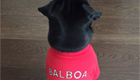 Ozil dresses pug Balboa in Arsenal colours