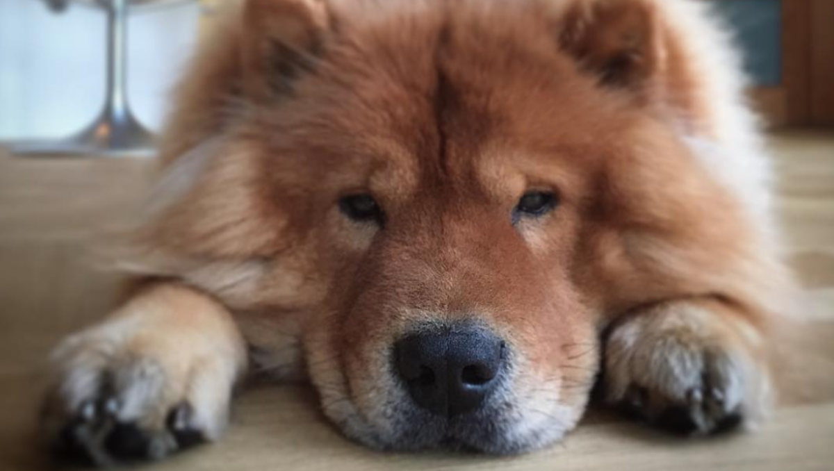 David De Gea's Chow Chow, Maxto (Photo: David De Gea / Instagram)